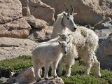 The Goats of Mount Evans