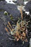 Hot--rock Penstemon on Cold Rock