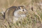 richardson's ground squirrel 092808IMG_5737