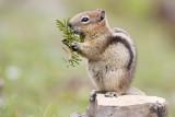 golden-mantled ground squirrel 070108IMG_0322