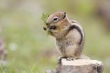 golden-mantled ground squirrel 070108IMG_0333