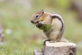 golden-mantled ground squirrel 070108IMG_0360