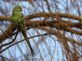 Ring-necked parakeet - Psittacula krameri