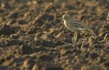 Stone Curlew - Burhinus oedicnemus - Wuustwezel, 15/06/08