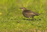 Juvenile Starling - Sturnus vulgaris