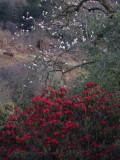 Rhododendrons and magnolia, Yotung la, Bhutan