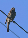 Corn Bunting, Dalyan, Turkey