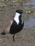 Spur-winged Plover, Lake Tana