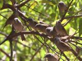 Swainson's Sparrow, Lalibela