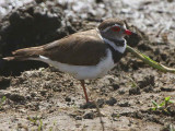 Three-banded Plover, Lake Awassa