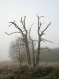 Ancient tree, Loch Lomond NNR