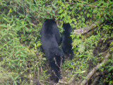 Himalayan Black Bear, Namling, Bhutan