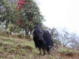 Yak (domestic animal), Bhutan