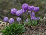 Primulas by the roadside, Pele la