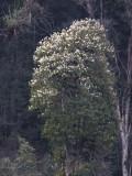 Rhododendron tree, Pele la