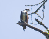 July 10 08 Sauvie Island Birds-72.jpg