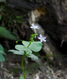 Portland, OR's Forest Park: Plantlife In The Woods, June 21 08