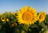Sacramento Valley Sunflowers  2008
