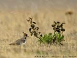 Northern Lapwing birdscapes - Vanellus vanellus - Vanneau huppé