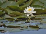 Water Lilies - Nymphaeaceae - Nénuphars