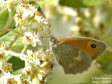 SMALL HEATH - COENONYMPHA PAMPHILUS - LE PROCRIS ou FADET COMMUN