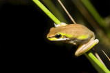 Litoria fallax - brown and green form