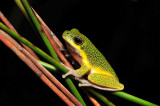Litoria cooloolensis 5