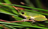 Litoria cooloolensis 4