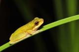 Litoria cooloolensis - metamorph