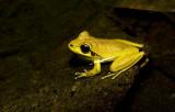 Litoria wilcoxi - stony creek frog male