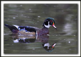 CANARD BRANCHU  /  WOOD DUCK    _MG_6900a