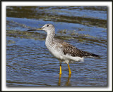 GRAND CHEVALIER   /   GREATER YELLOWLEGS    _MG_7455 c