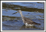 GRAND CHEVALIER   /   GREATER YELLOWLEGS    _MG_7460a