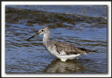 GRAND CHEVALIER   /   GREATER YELLOWLEGS    _MG_7468a