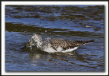 GRAND CHEVALIER   /   GREATER YELLOWLEGS    _MG_7470a
