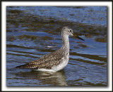 GRAND CHEVALIER   /   GREATER YELLOWLEGS    _MG_7473a