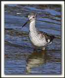 GRAND CHEVALIER   /   GREATER YELLOWLEGS    _MG_7479a