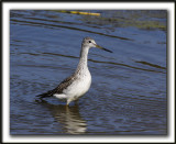 GRAND CHEVALIER   /   GREATER YELLOWLEGS    _MG_7503a
