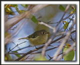 ROITELET À COURONNE RUBIS   /   RUBY-CROWNED  KINGLET    _MG_8657a