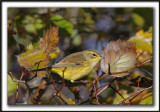 PARULINE À COURONNE ROUSSE en automne   /  PALM WARBLER  in fall time   _MG_8623a