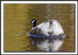 BERNACHE DU CANADA ( La bernache de roche)  /   CANADA GOOSE ( Rocky goose )     _MG_8819a
