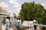 _DSC2532 Bodhi Vraksh - Tree of Knowledge