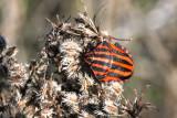 Streifenwanze / striped shield bug