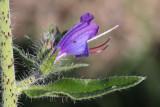 Gewöhnlicher Natternkopf / Viper's Bugloss