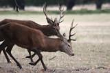 Rothirsche / red deer