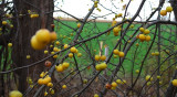 Yellow Crabapples