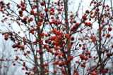 November Crabapples