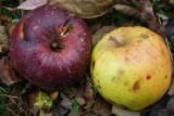 Apples In Harmony