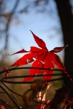 Japanese Maple Leaf, November Twilight