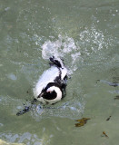 African Black Footed Penguin 3